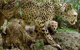Гепарды на грани исчезновения
