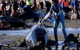 В Новой Зеландии сотни китов выбросились