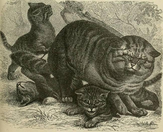Дикий или лесной кот