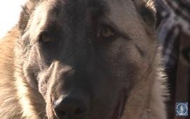 Армянский Гампр - древнейший волкодав