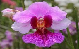 Символ Сингапура - армянская орхидея
