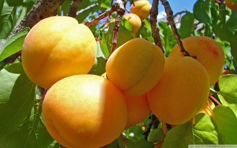 Prunus armeniaca: армянский абрикос – фрукт со вкусом солнца