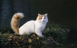 Подробнее о Ванской кошке - Вана-Кату