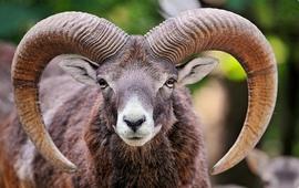 Армянский муфлон - Исчезающий вид