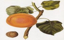 Животворящий плод - Легенды Арарата