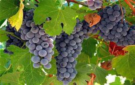 Армения - Ван - Родина винограда