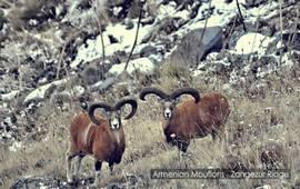 Армянский муфлон (+Видео)