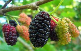 Шелковица - Полезные свойства тутовой ягоды