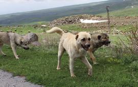 Собаки в Древней Армении