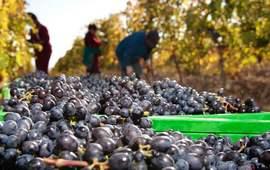 Возрождение традиции виноделия в Армении