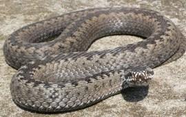 Образ змеи в Древней Армении