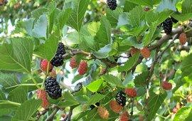 Армянская шелковица - Дерево миротворец
