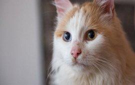 Ванксая кошка - Лечебные свойства