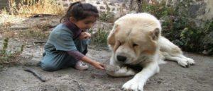 Армянский Гампр - Лев среди собак