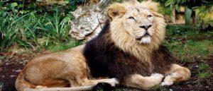 Азиатский лев - Символ