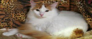 Древняя армянская порода кошек