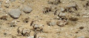 Жители провинции Ван, в Исторической Армении, защищают диких коз от охотников