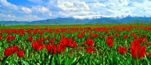 Натуральные тюльпаны на равнине Муша
