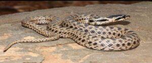 Армения насчитывает 22 вида змей