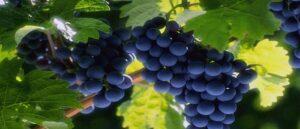 Винодельни Армении позволяют рассматривать Армению как страну винного туризма