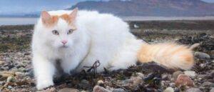Ванская кошка - Древняя армянская кошка